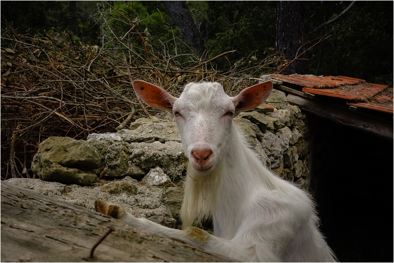 Mljet Goats Croatia Travel Guide Dalmatian Coast Days What Where to Visit Dalmatia Cities