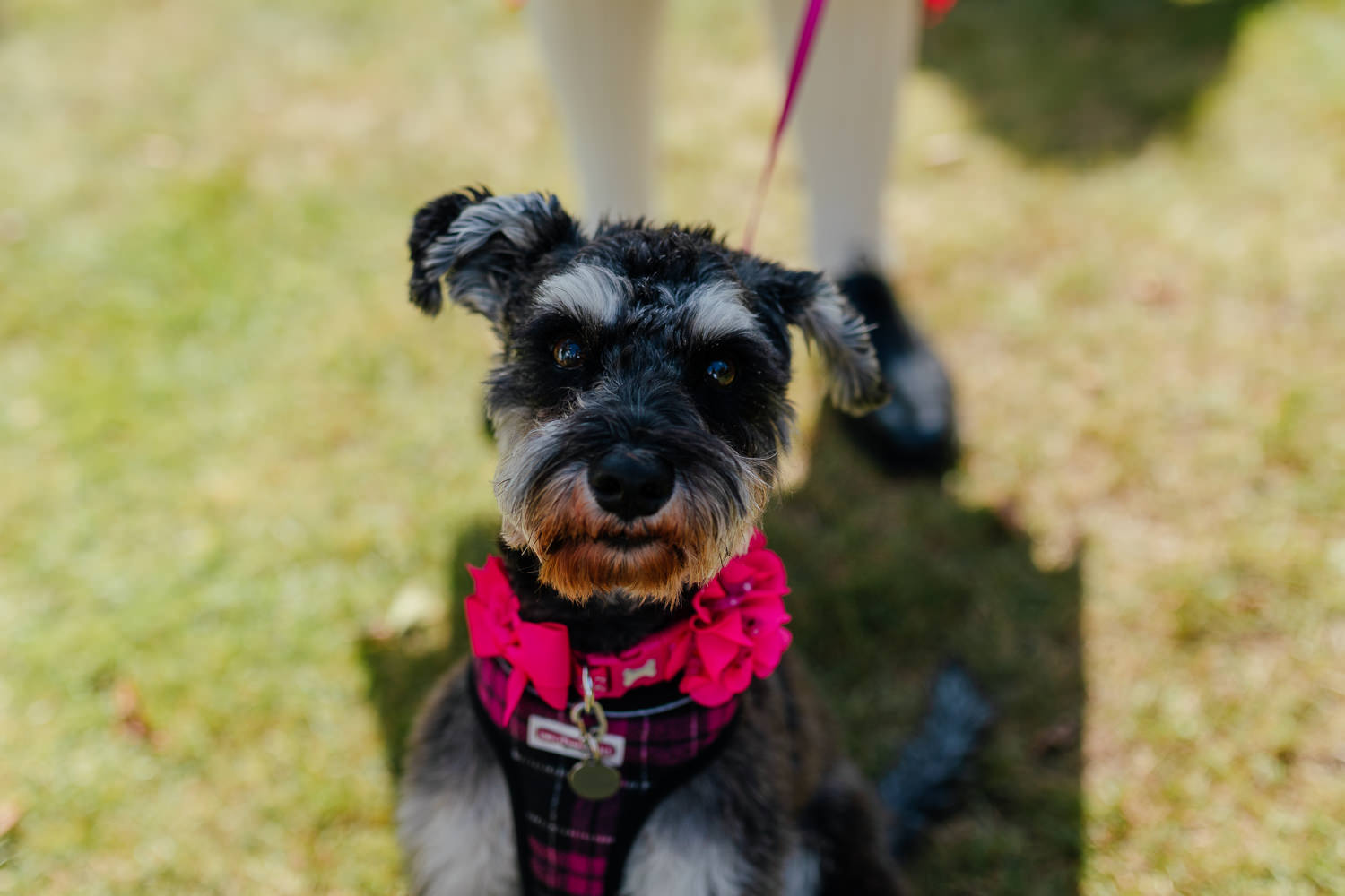 Ayrshire Wedding Piersland House Troon Outdoor Dog Schnauzer